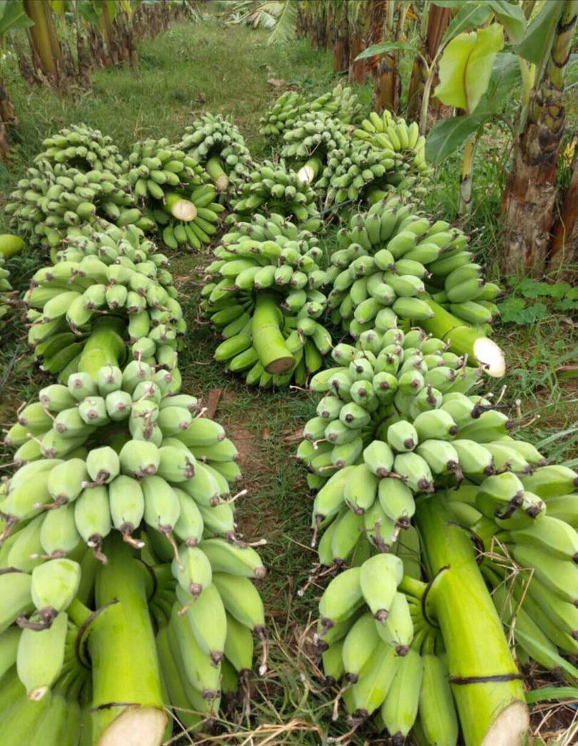 Bỏ 25 triệu đồng mua cả vườn chuối, tiểu thương thắng đậm khi bán dịp Tết - Ảnh 1.