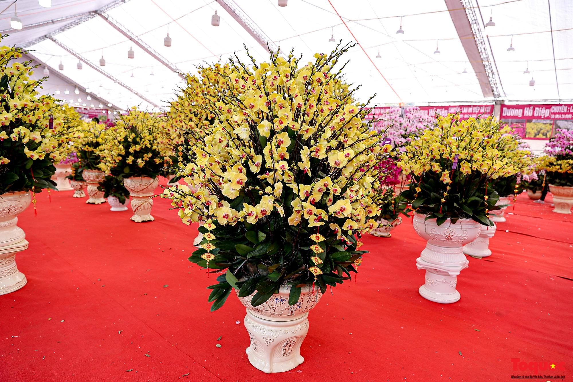 Lan Hồ Điệp giá hàng trăm triệu xuất hiện tại Hà Nội phục vụ Tết Nguyên đán - Ảnh 2.