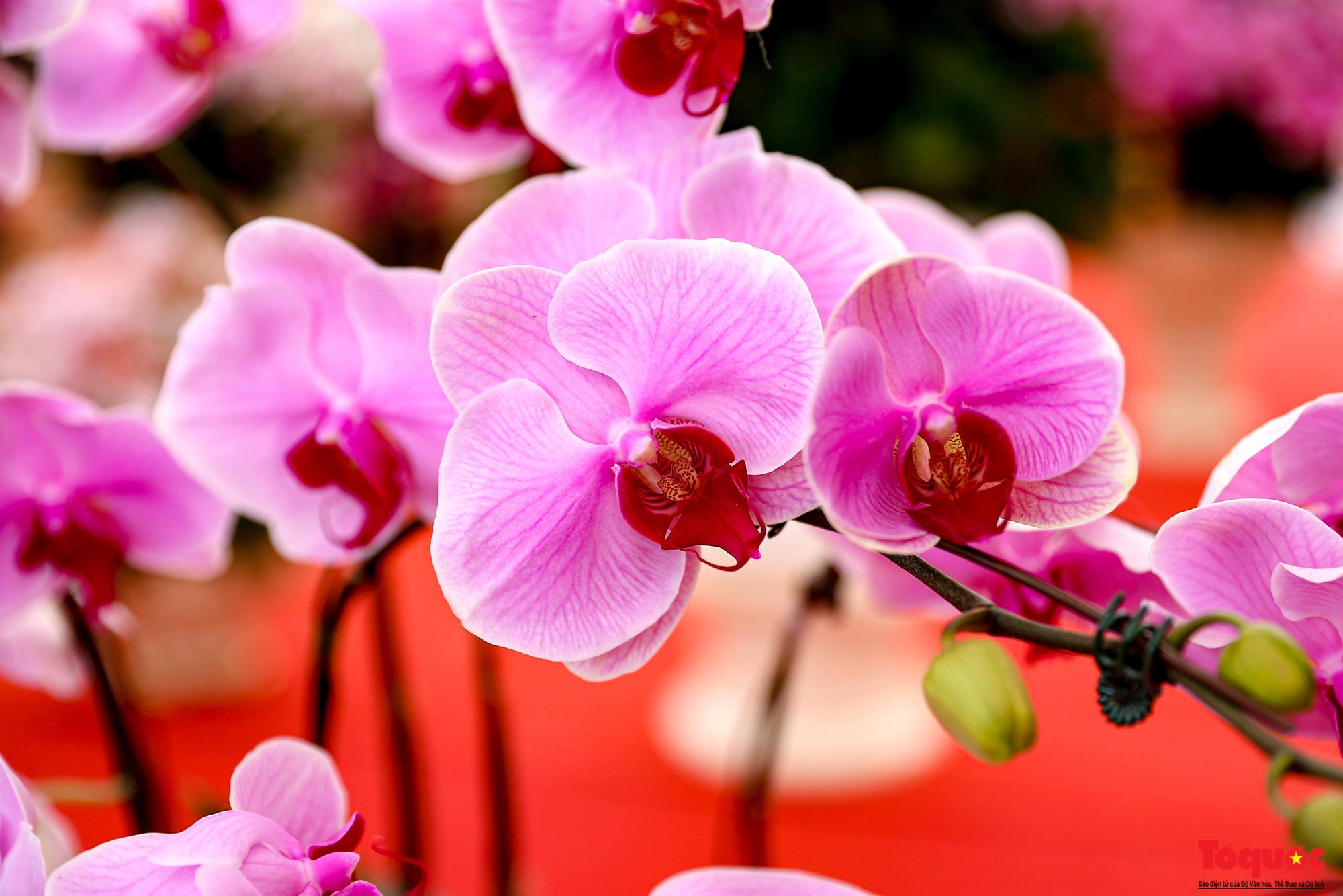 Lan Hồ Điệp giá hàng trăm triệu xuất hiện tại Hà Nội phục vụ Tết Nguyên đán - Ảnh 3.