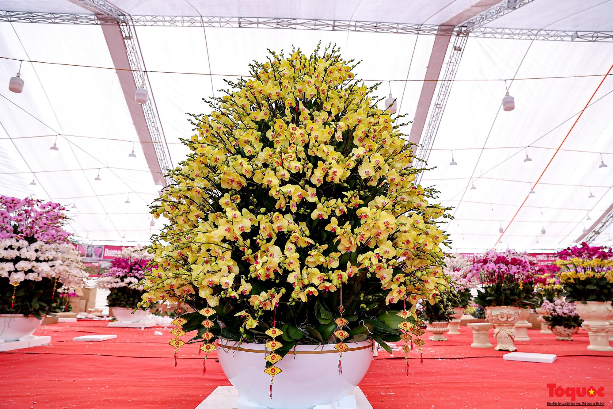 Lan Hồ Điệp giá hàng trăm triệu xuất hiện tại Hà Nội phục vụ Tết Nguyên đán - Ảnh 5.