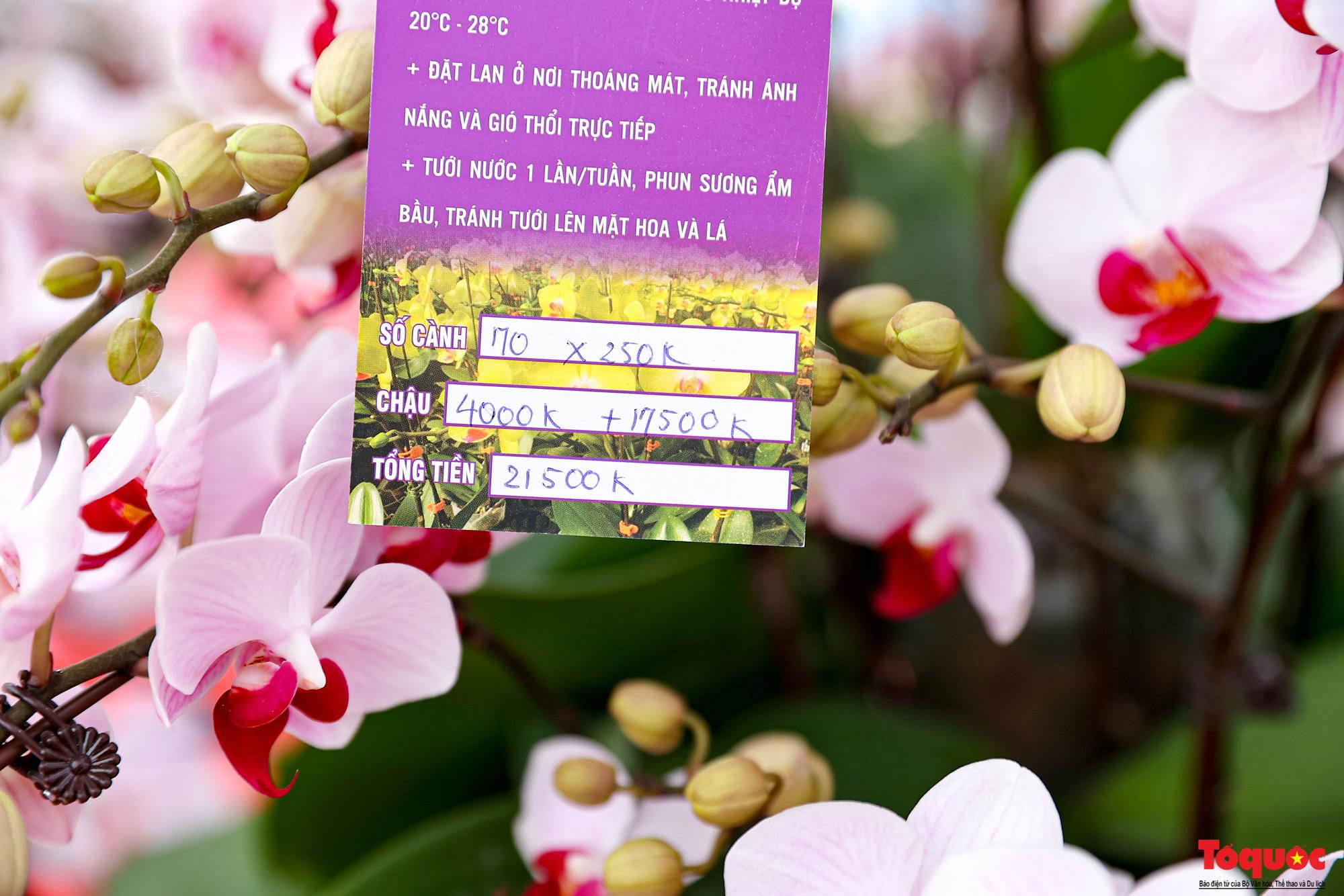 Lan Hồ Điệp giá hàng trăm triệu xuất hiện tại Hà Nội phục vụ Tết Nguyên đán - Ảnh 8.