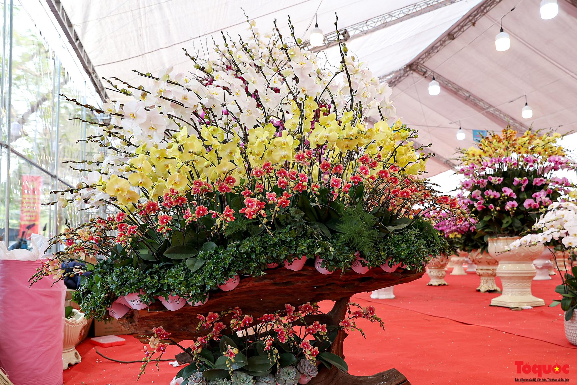 Lan Hồ Điệp giá hàng trăm triệu xuất hiện tại Hà Nội phục vụ Tết Nguyên đán - Ảnh 9.