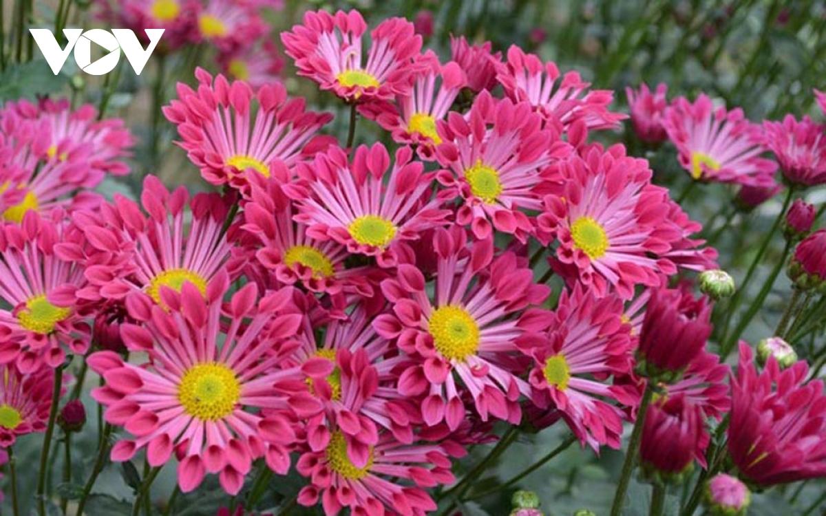 Những loại hoa chơi Tết dành cho... nhà nghèo - Ảnh 8.