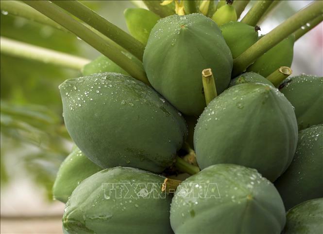 Độc đáo vườn đu đủ bonsai trĩu quả giá bạc triệu hút khách mua chơi Tết - Ảnh 2.