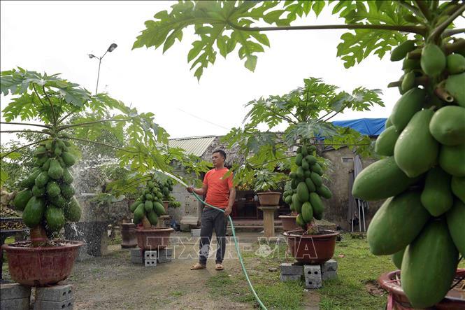Độc đáo vườn đu đủ bonsai trĩu quả giá bạc triệu hút khách mua chơi Tết - Ảnh 3.