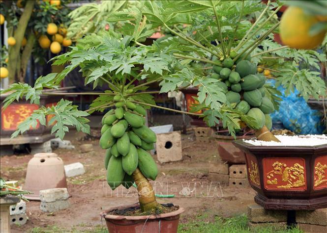 Độc đáo vườn đu đủ bonsai trĩu quả giá bạc triệu hút khách mua chơi Tết - Ảnh 4.