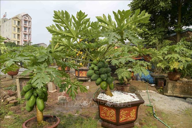 Độc đáo vườn đu đủ bonsai trĩu quả giá bạc triệu hút khách mua chơi Tết - Ảnh 5.