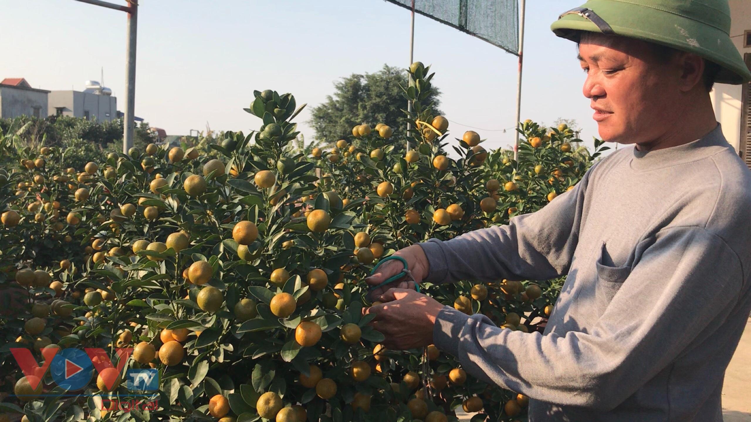 Ông Đỗ Văn Dần, chủ vườn quất tỉnh Nam Định đang tỉa cành cho cây quất cảnh.jpg