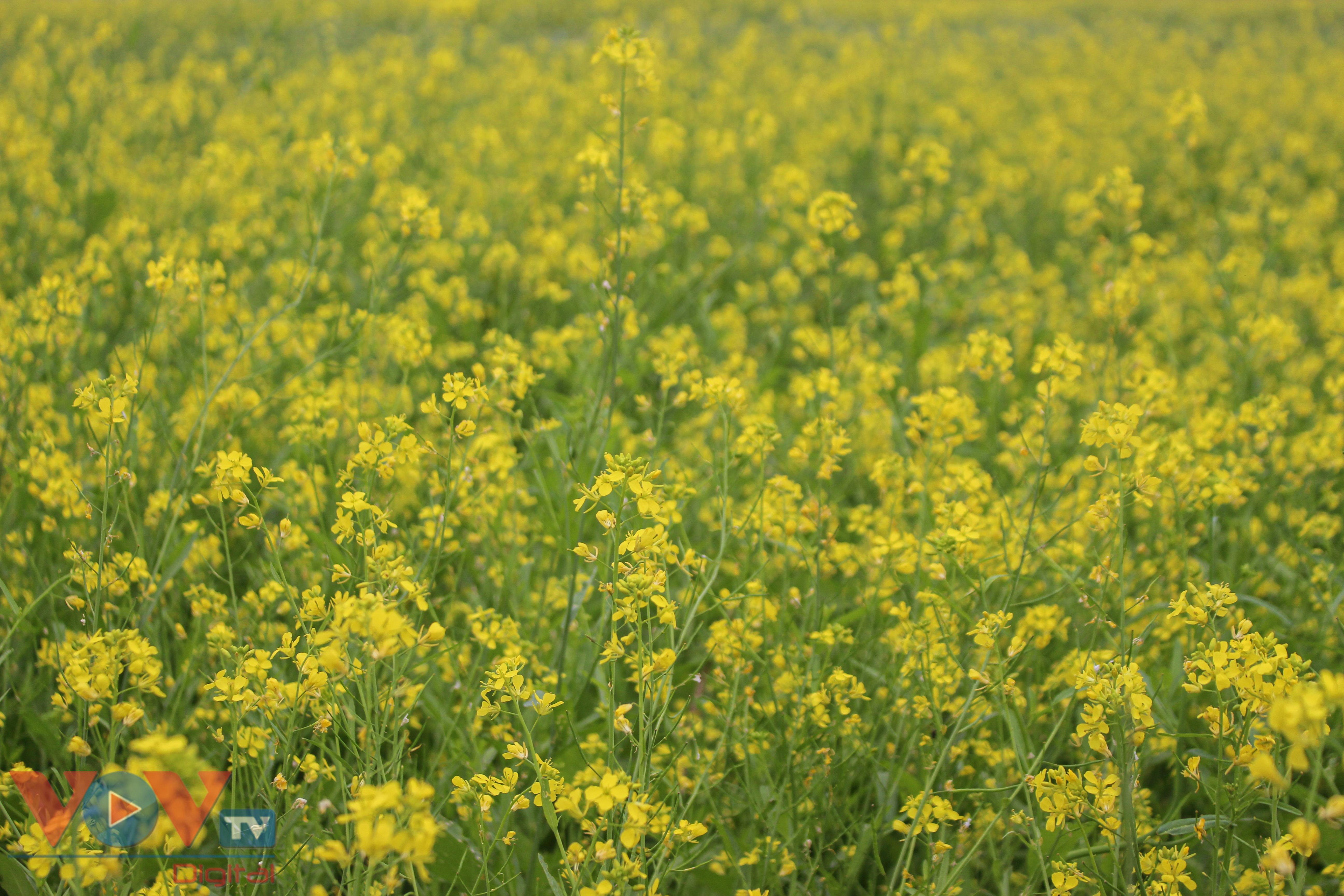 Rực rỡ cánh đồng hoa cải vàng ven sông - Ảnh 2.