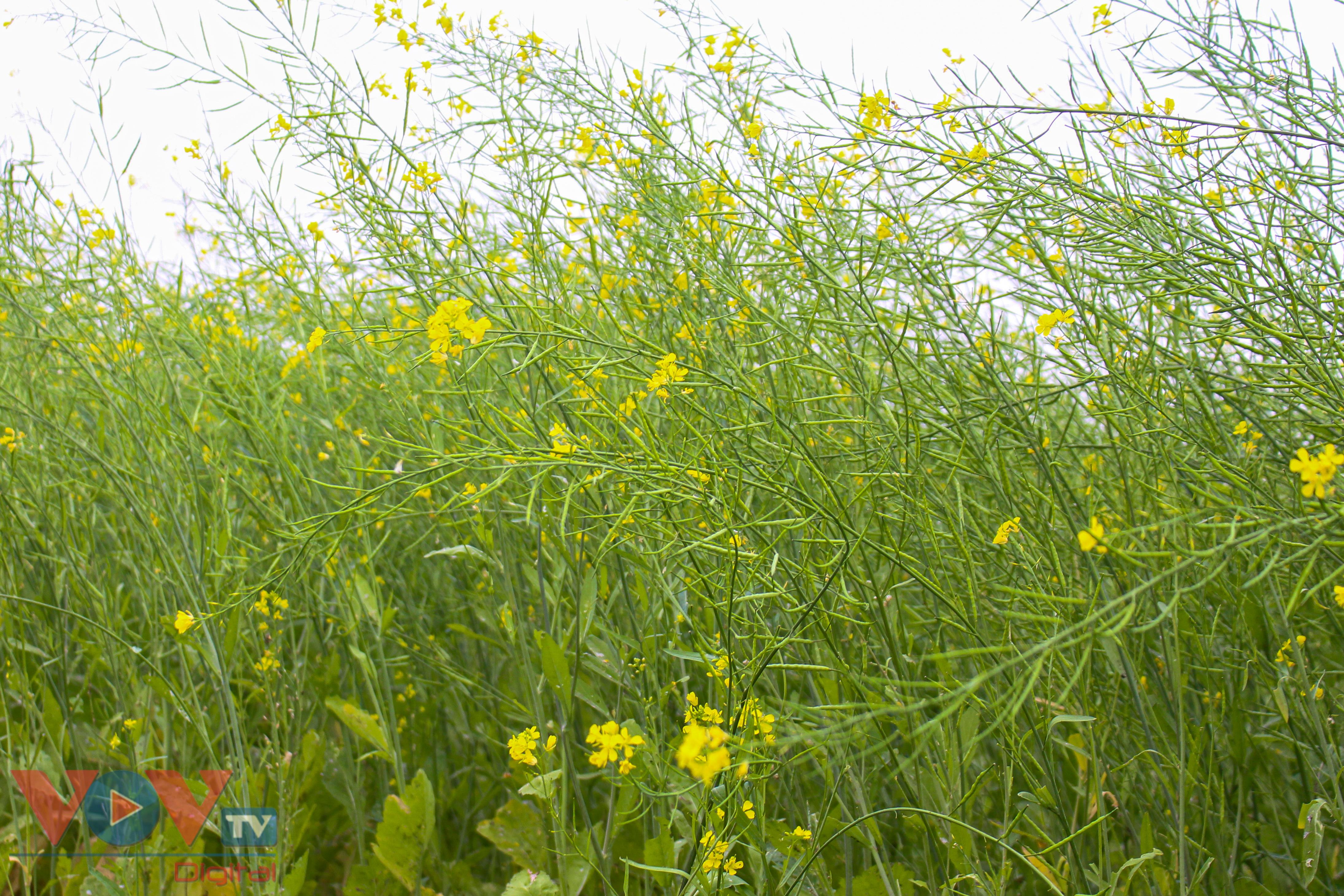 Rực rỡ cánh đồng hoa cải vàng ven sông - Ảnh 8.