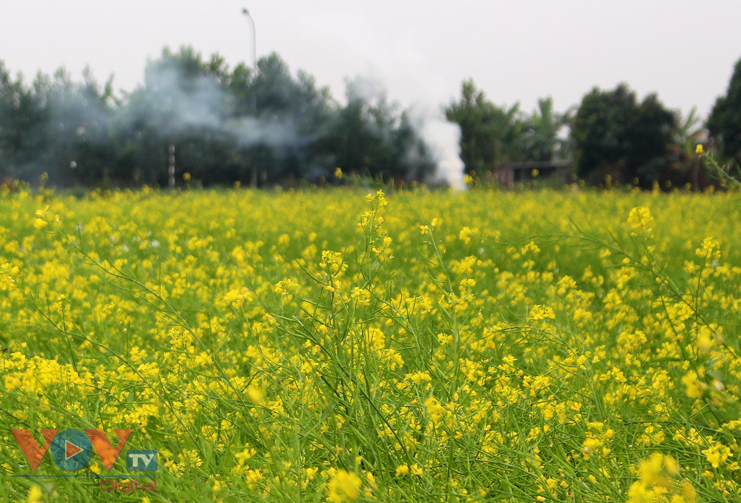 Rực rỡ cánh đồng hoa cải vàng ven sông - Ảnh 10.
