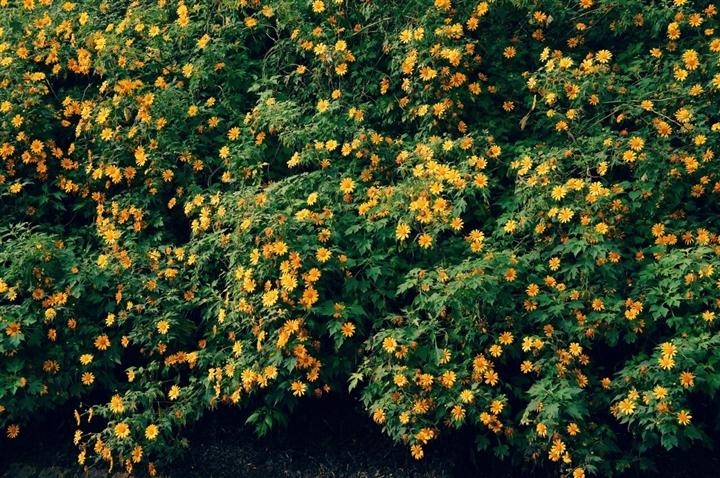 Đà Lạt rục rịch đón mùa hoa Dã quỳ trên 4 cung đường vàng rực đẹp xuất sắc - Ảnh 4.
