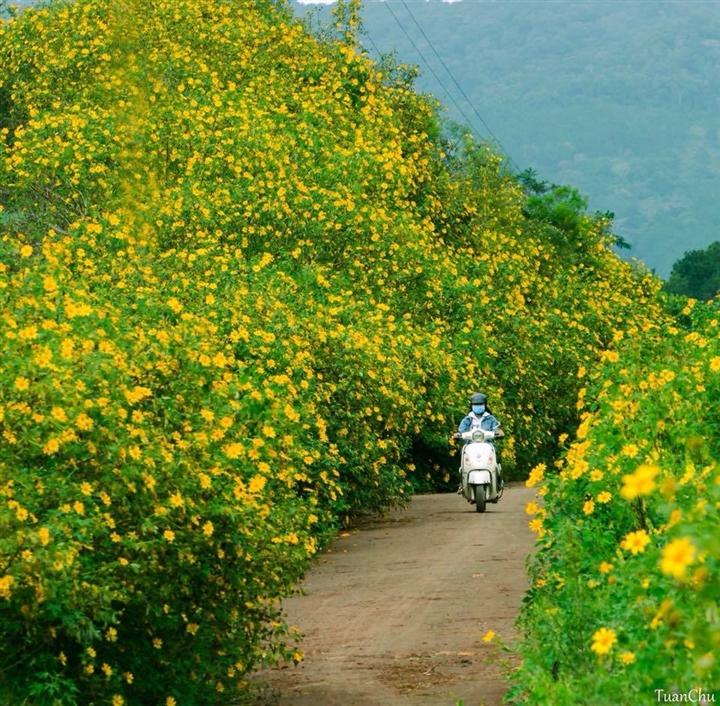 Đà Lạt rục rịch đón mùa hoa Dã quỳ trên 4 cung đường vàng rực đẹp xuất sắc - Ảnh 5.