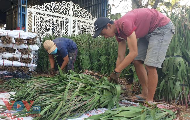 Hoa lay ơn rớt giá thảm hại ở Phú Yên - Ảnh 1.