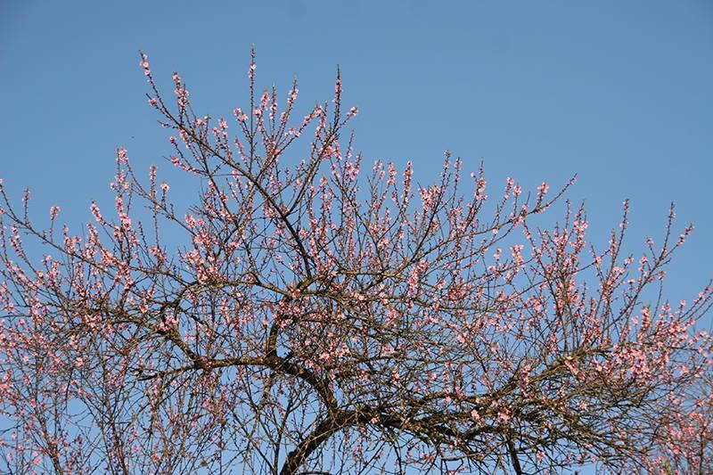 Rực rỡ sắc hoa đào núi tuyệt đẹp ở Sa Pa - Ảnh 9.