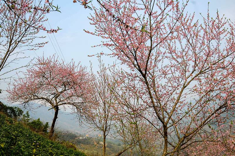 Rực rỡ sắc hoa đào núi tuyệt đẹp ở Sa Pa - Ảnh 8.