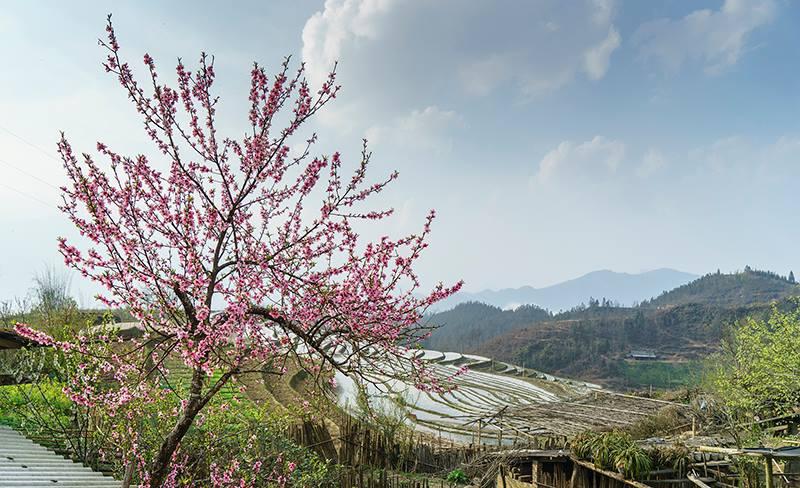 Rực rỡ sắc hoa đào núi tuyệt đẹp ở Sa Pa - Ảnh 7.