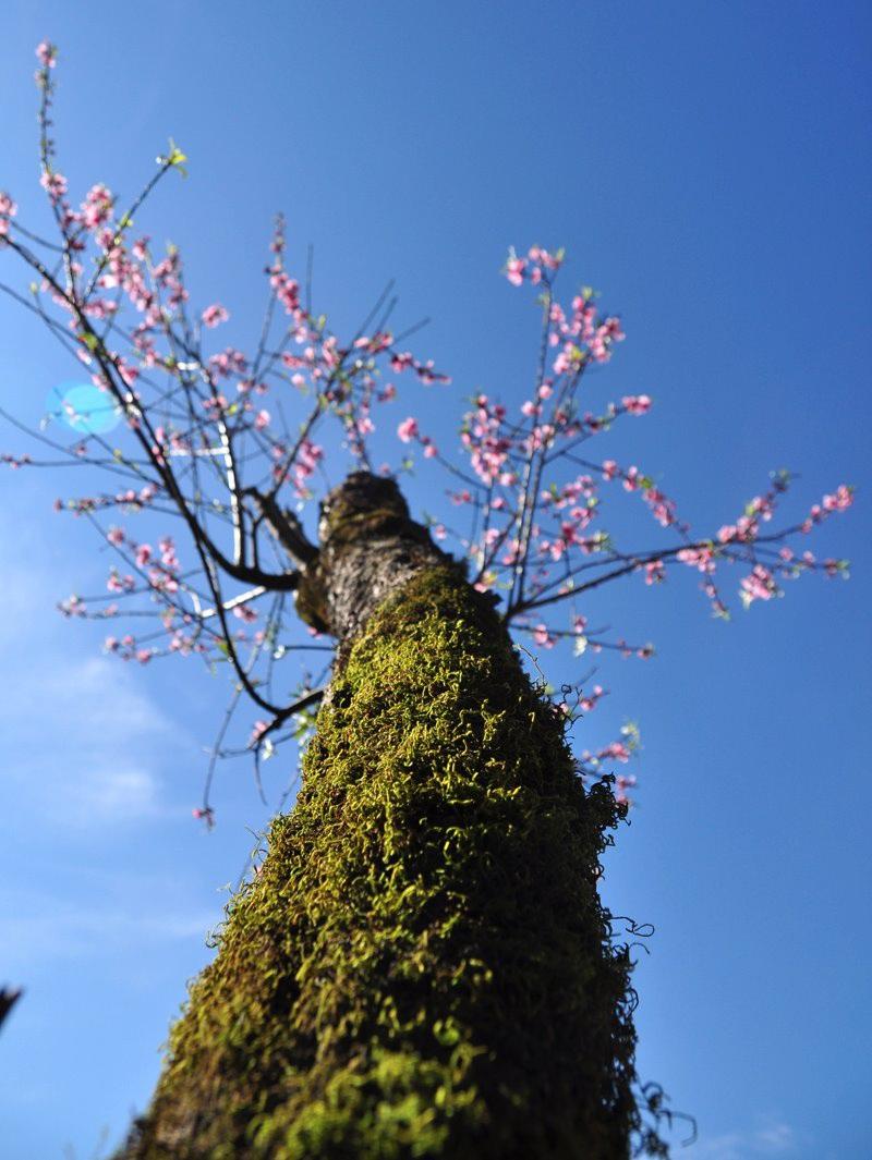 Rực rỡ sắc hoa đào núi tuyệt đẹp ở Sa Pa - Ảnh 5.