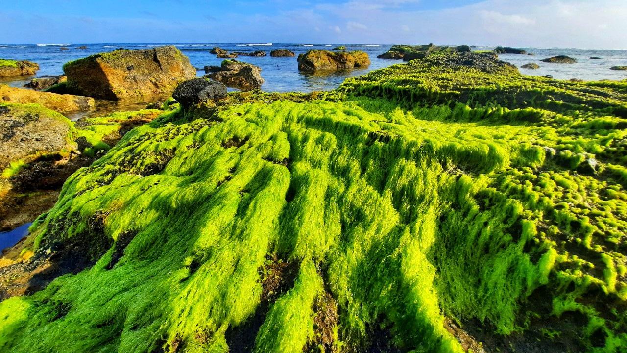 Vẻ đẹp mê hoặc lòng người của 'cánh đồng rêu' ở Lý Sơn - Ảnh 1.