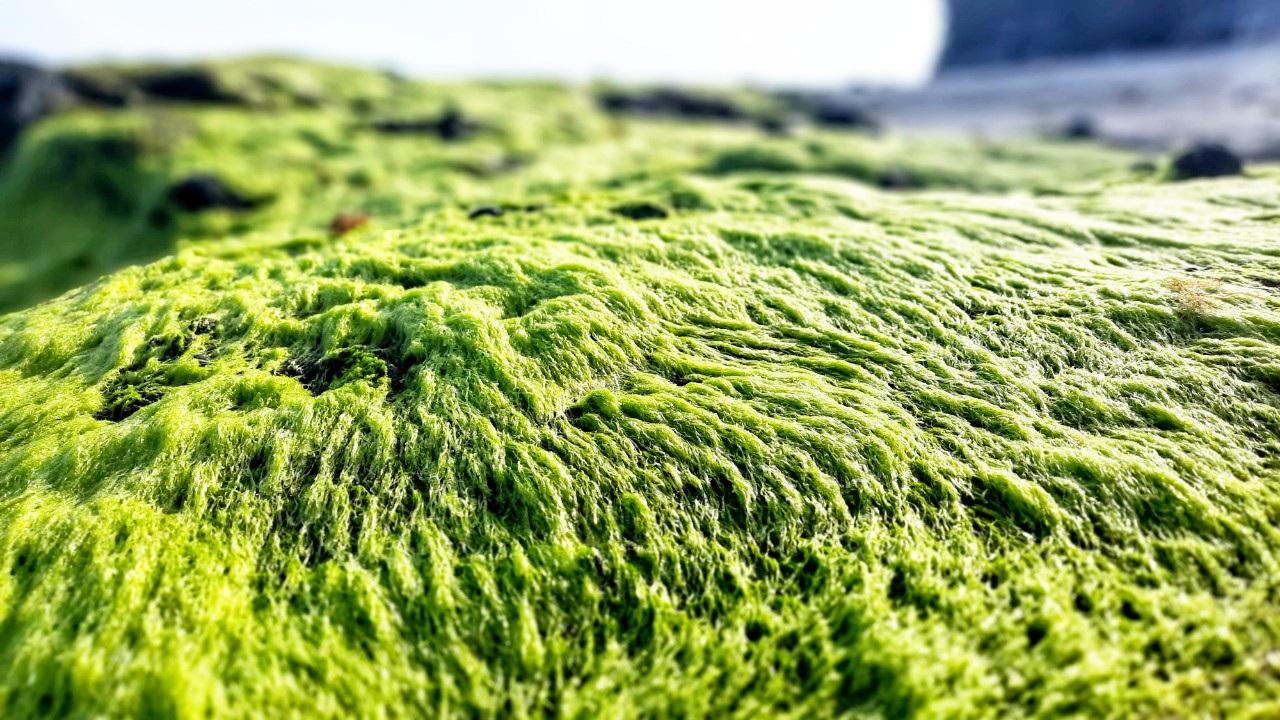 Vẻ đẹp mê hoặc lòng người của 'cánh đồng rêu' ở Lý Sơn - Ảnh 2.