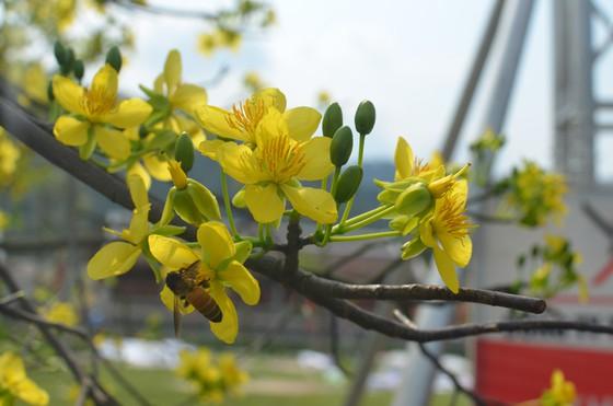 Quảng Ninh: Đẹp nao lòng với 'đại lão mai vàng' trên non thiêng Yên Tử  - Ảnh 2.