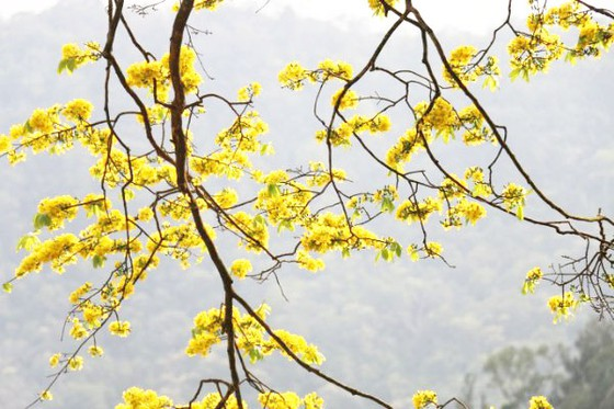 Quảng Ninh: Đẹp nao lòng với 'đại lão mai vàng' trên non thiêng Yên Tử  - Ảnh 5.