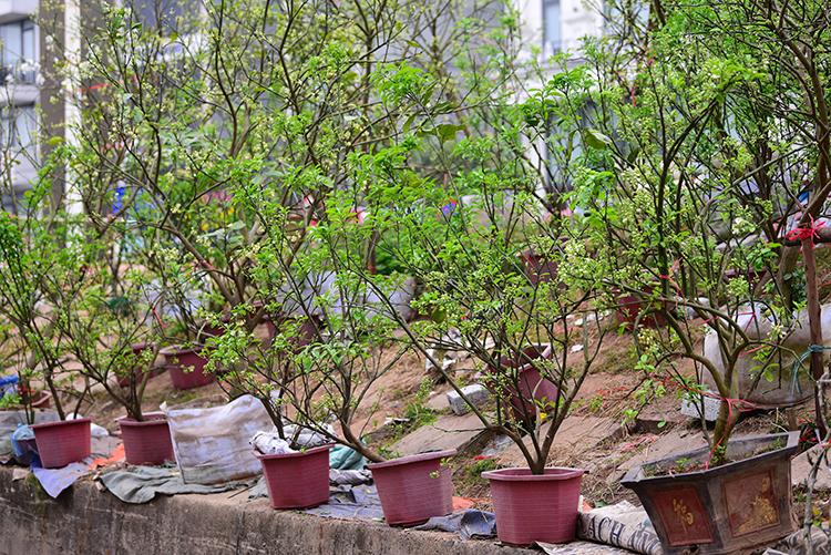 Hoa bưởi cả cây: 'Thú chơi mới' của người Hà Nội