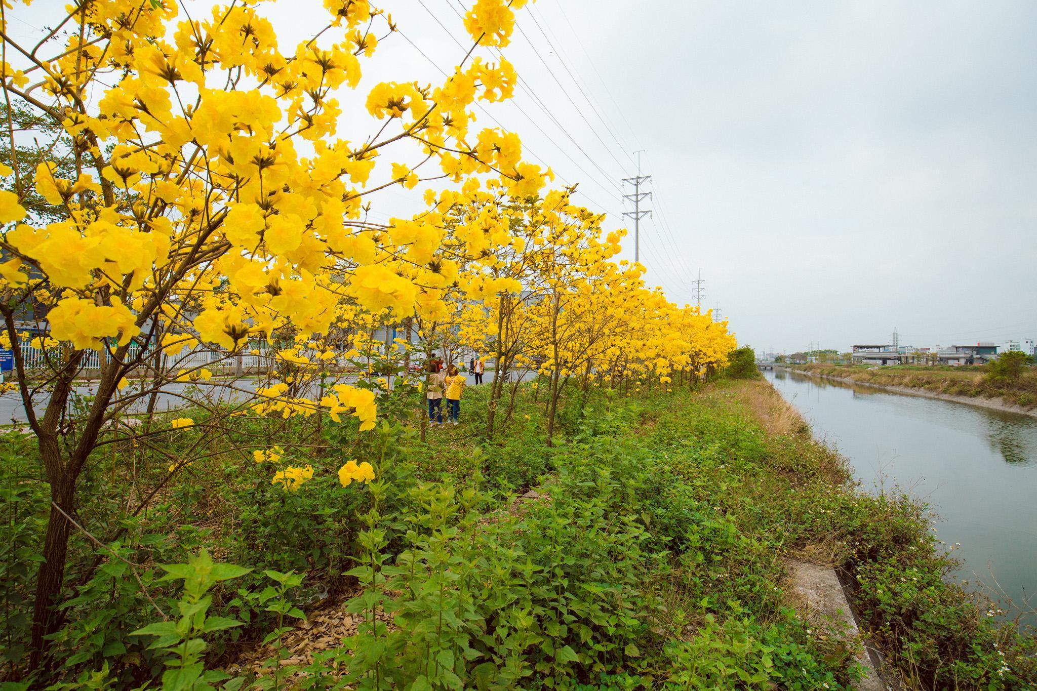 Vườn hoa phong linh nở sắc vàng rực rỡ đẹp tựa trời Âu ở Bắc Giang - Ảnh 1.