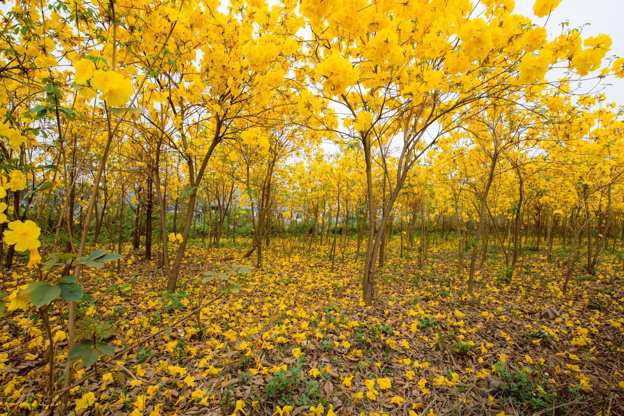 Vườn hoa phong linh nở sắc vàng rực rỡ đẹp tựa trời Âu ở Bắc Giang - Ảnh 2.