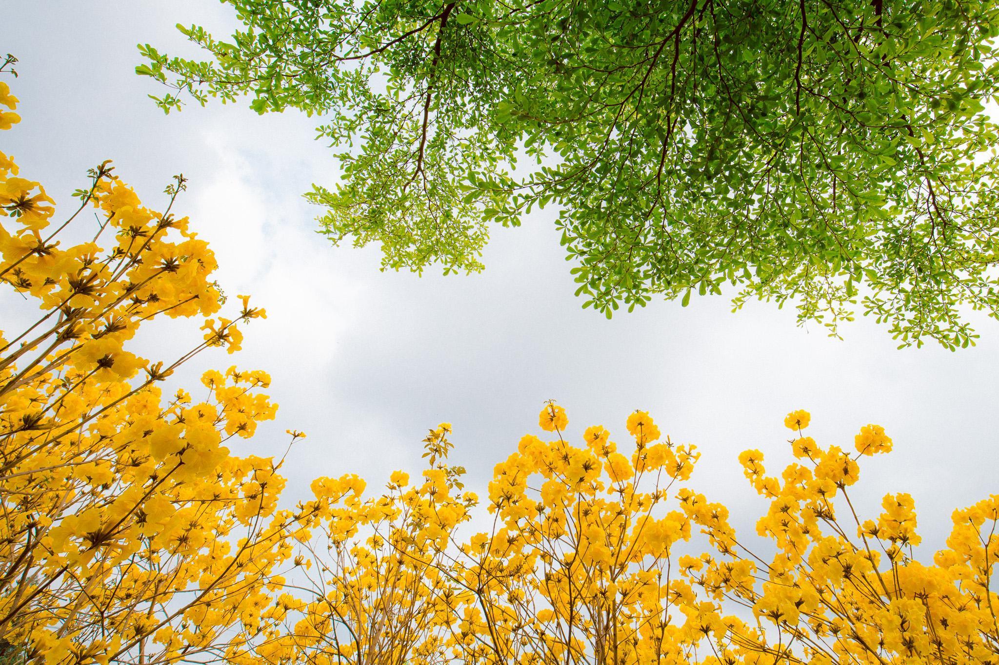 Vườn hoa phong linh nở sắc vàng rực rỡ đẹp tựa trời Âu ở Bắc Giang - Ảnh 5.