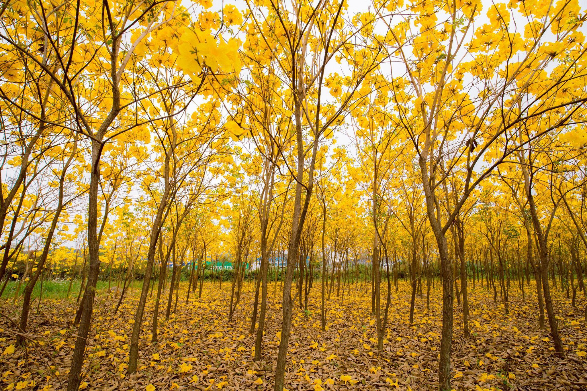 Vườn hoa phong linh nở sắc vàng rực rỡ đẹp tựa trời Âu ở Bắc Giang - Ảnh 6.