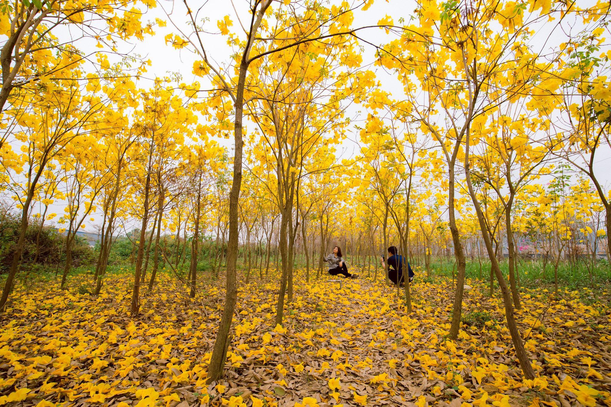 Vườn hoa phong linh nở sắc vàng rực rỡ đẹp tựa trời Âu ở Bắc Giang - Ảnh 7.