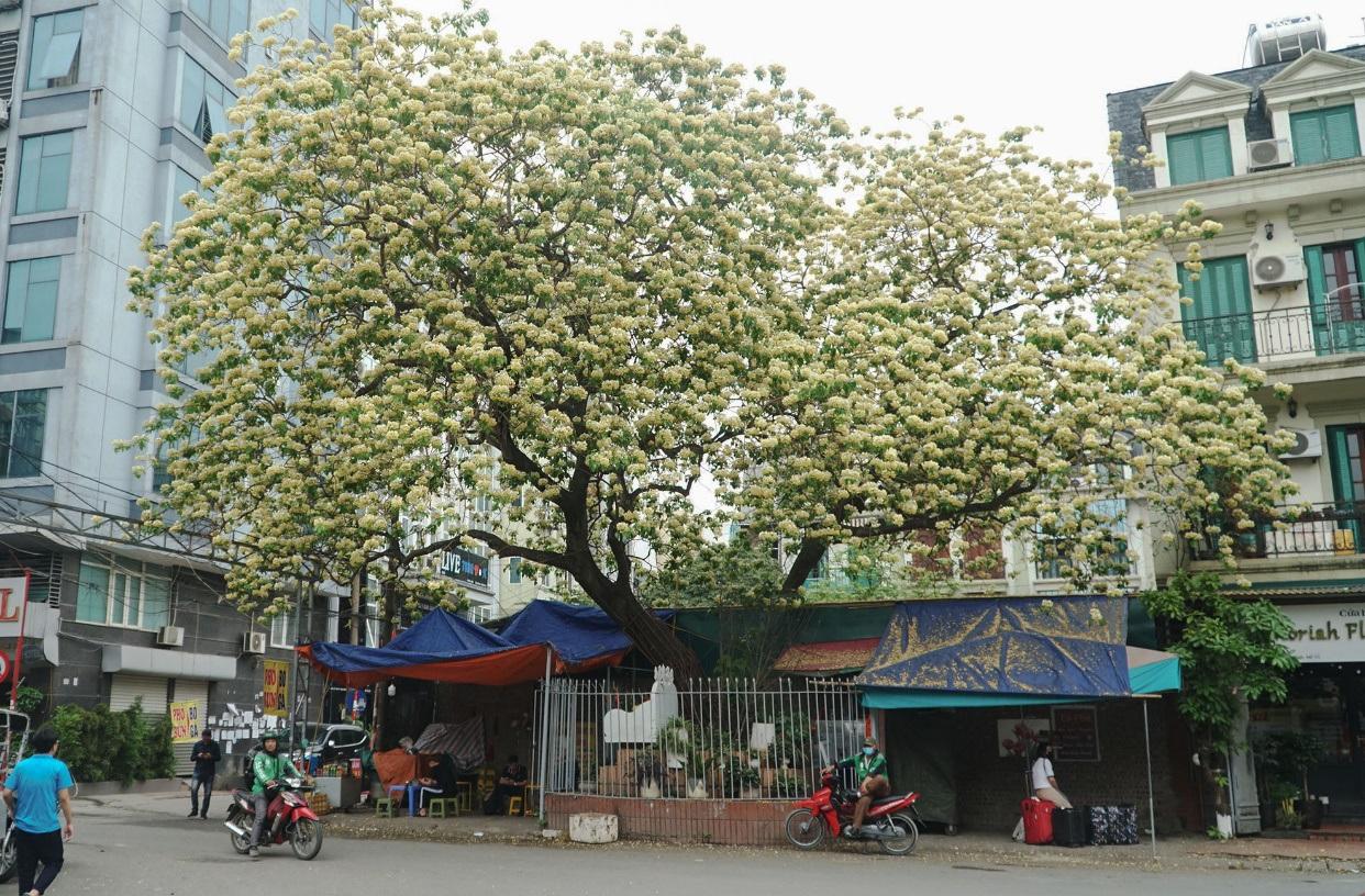 Choáng ngợp cây bún 300 tuổi 'báu vật độc nhất vô nhị' ở Hà Nội - Ảnh 1.