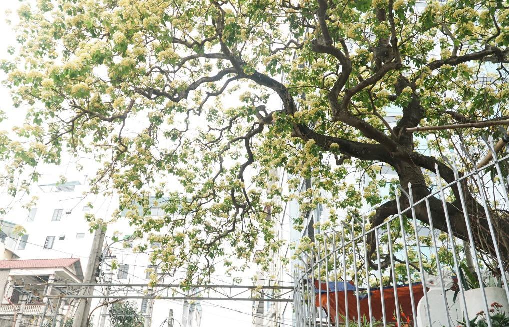 Choáng ngợp cây bún 300 tuổi 'báu vật độc nhất vô nhị' ở Hà Nội - Ảnh 5.