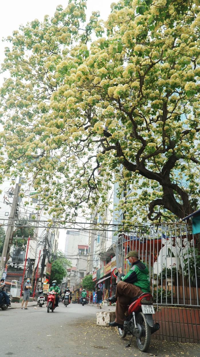 Choáng ngợp cây bún 300 tuổi 'báu vật độc nhất vô nhị' ở Hà Nội - Ảnh 6.