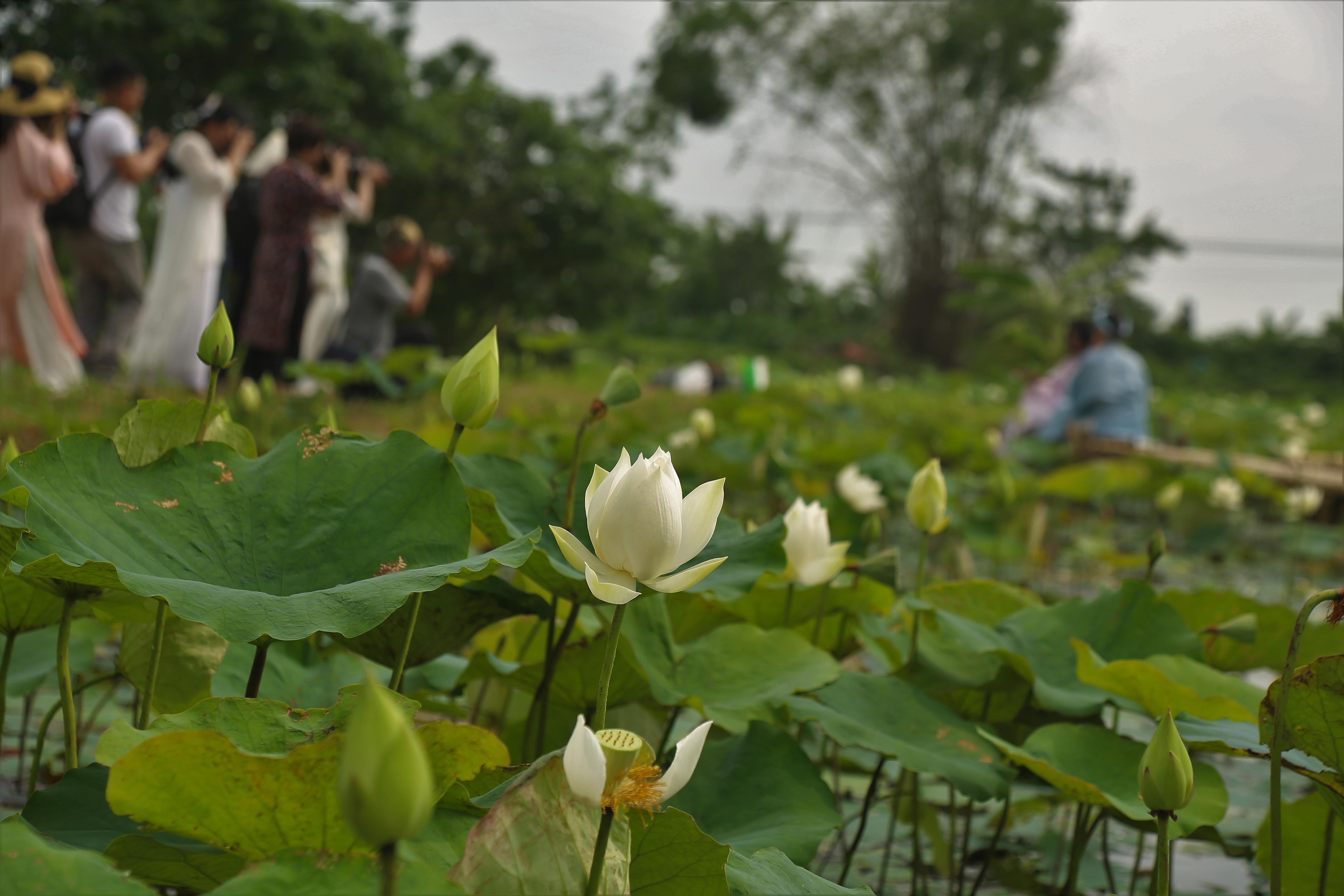 Hà Nội: Kiếm tiền triệu từ nghề trồng hoa sen trắng - Ảnh 6.