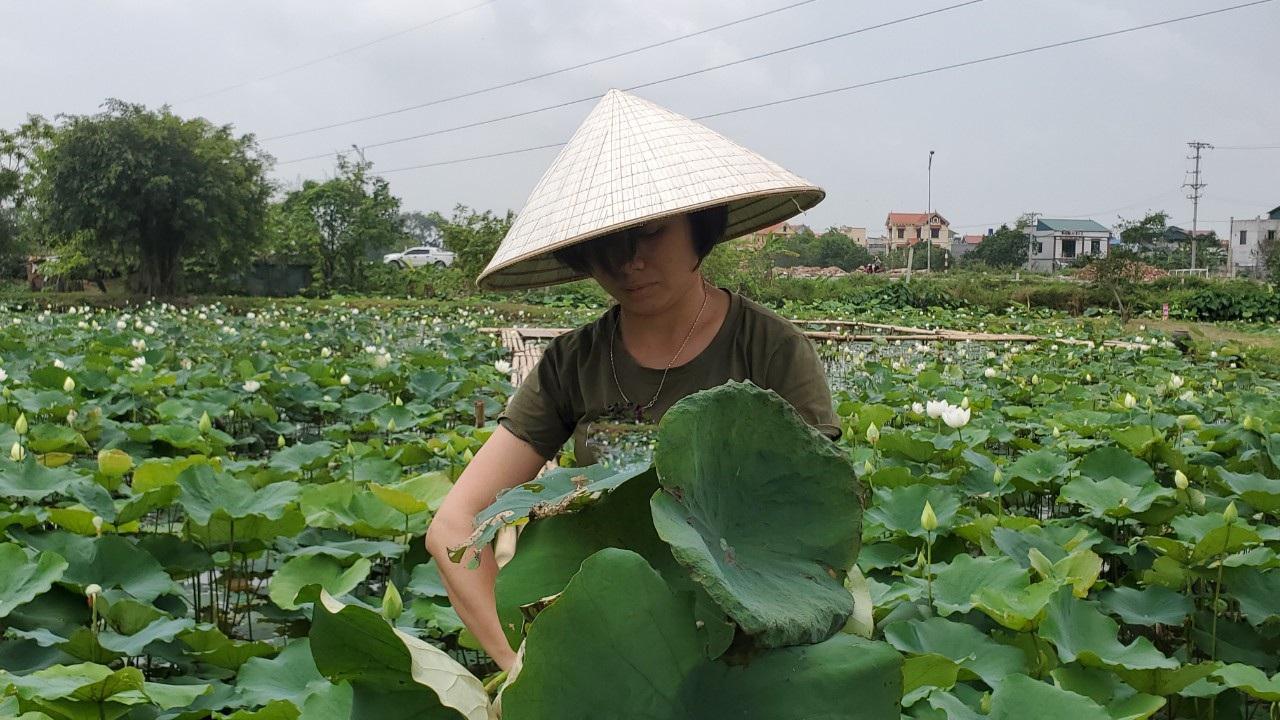 Hà Nội: Kiếm tiền triệu từ nghề trồng hoa sen trắng - Ảnh 3.