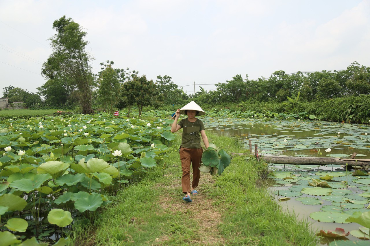 Hà Nội: Kiếm tiền triệu từ nghề trồng hoa sen trắng - Ảnh 9.