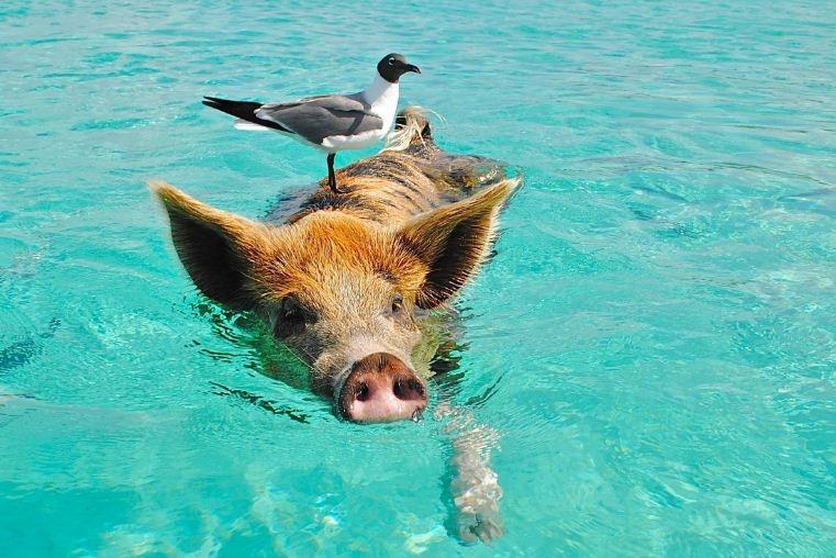 Thú vị hòn đảo có lợn biết bơi, giỏi xin ăn du khách - Ảnh 3.