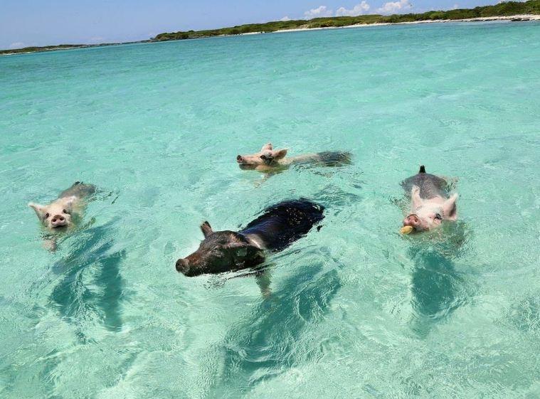 Thú vị hòn đảo có lợn biết bơi, giỏi xin ăn du khách - Ảnh 1.