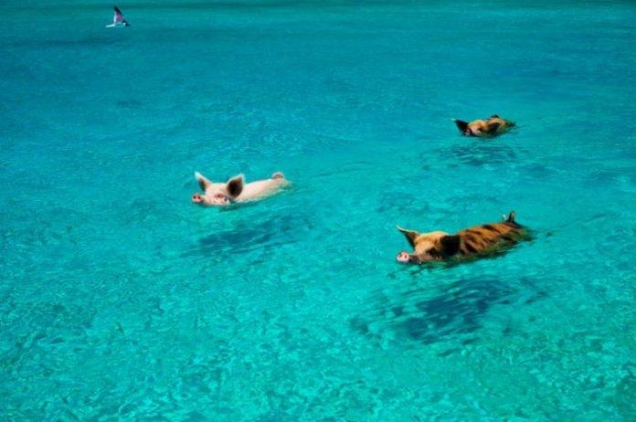 Thú vị hòn đảo có lợn biết bơi, giỏi xin ăn du khách - Ảnh 2.