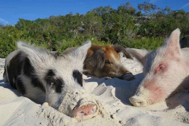 Thú vị hòn đảo có lợn biết bơi, giỏi xin ăn du khách - Ảnh 7.