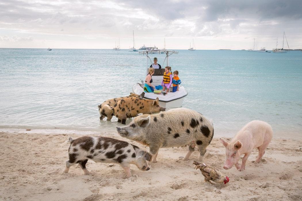 Thú vị hòn đảo có lợn biết bơi, giỏi xin ăn du khách - Ảnh 8.