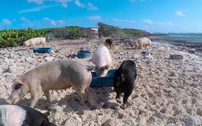 Thú vị hòn đảo có lợn biết bơi, giỏi xin ăn du khách - Ảnh 10.