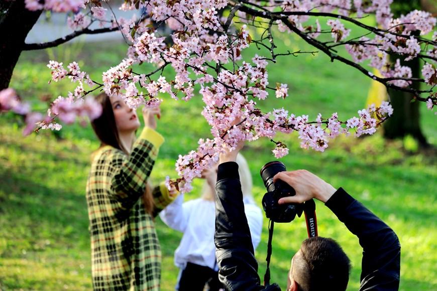 Người dân Moskva đội mưa tới công viên ngắm hoa anh đào đua nở  - Ảnh 1.