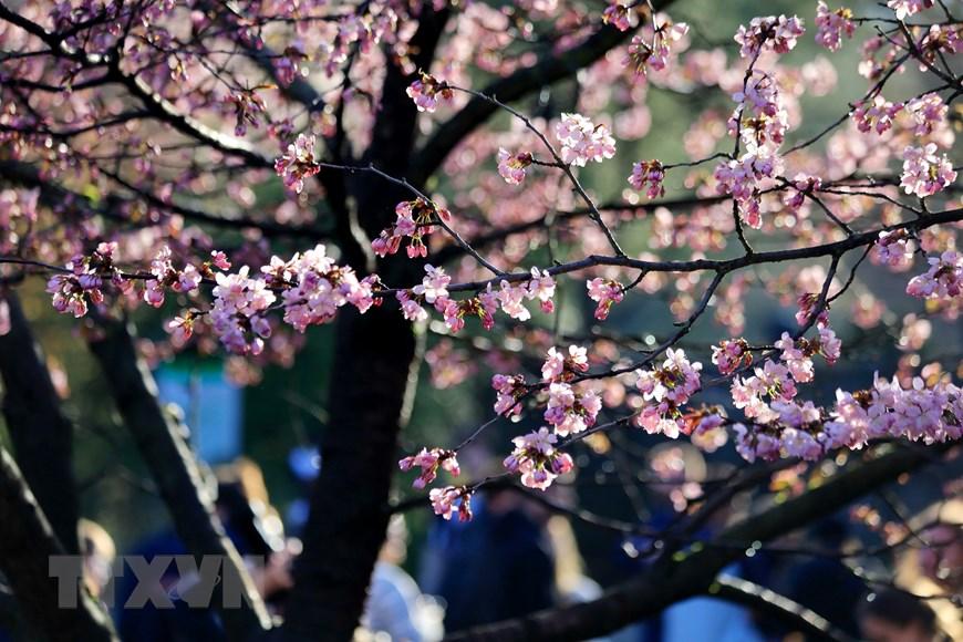 Người dân Moskva đội mưa tới công viên ngắm hoa anh đào đua nở  - Ảnh 4.