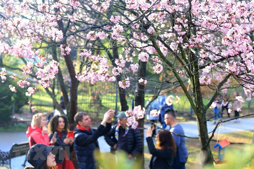 Người dân Moskva đội mưa tới công viên ngắm hoa anh đào đua nở  - Ảnh 5.
