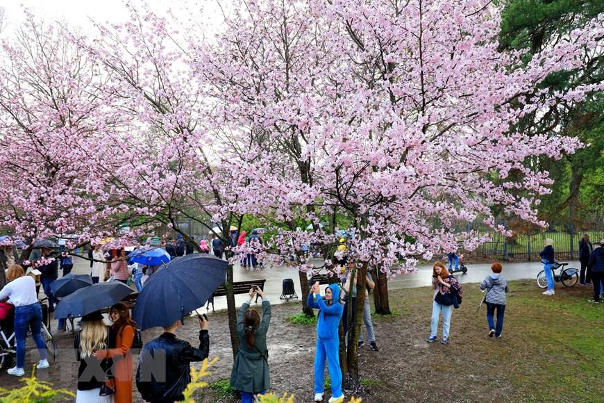 Người dân Moskva đội mưa tới công viên ngắm hoa anh đào đua nở  - Ảnh 7.