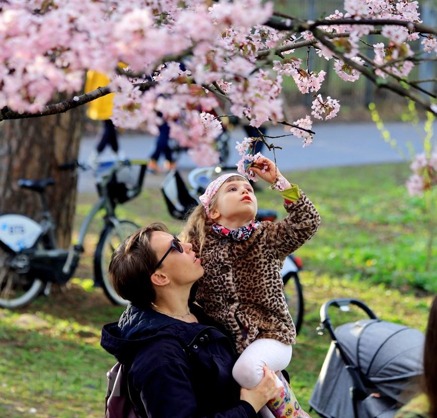 Người dân Moskva đội mưa tới công viên ngắm hoa anh đào đua nở  - Ảnh 10.