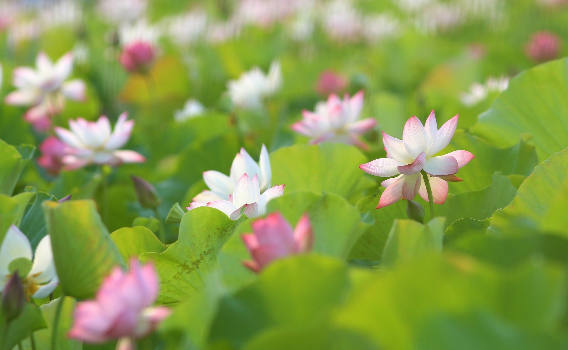 Mùa hoa sen ở Hải Phòng - Ảnh 4.